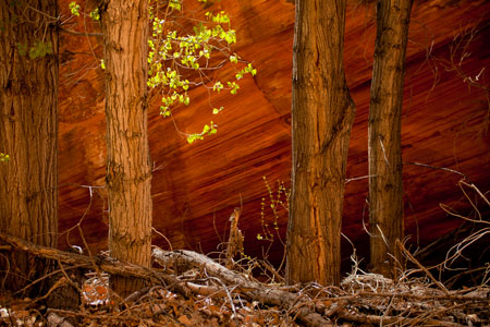 Photo. Cottonwoods in Coyote Gulch, Escalante Grand Staircase National Monument. Nilauro Markus.