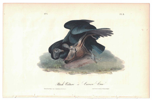 Black Vulture, or Carrion Crow, Plate 3. John James Audubon.