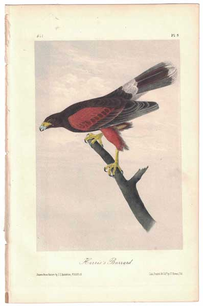 Harris's Buzzard, Plate 5. John James Audubon.