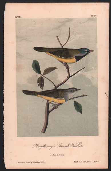 Macgillivray's Ground Warbler, Plate 100. John James Audubon.
