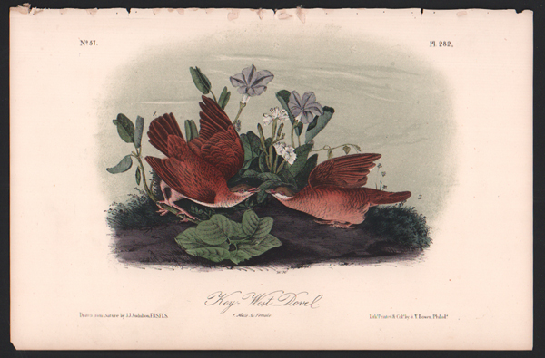 Key-West Dove, Plate 282. John James Audubon.