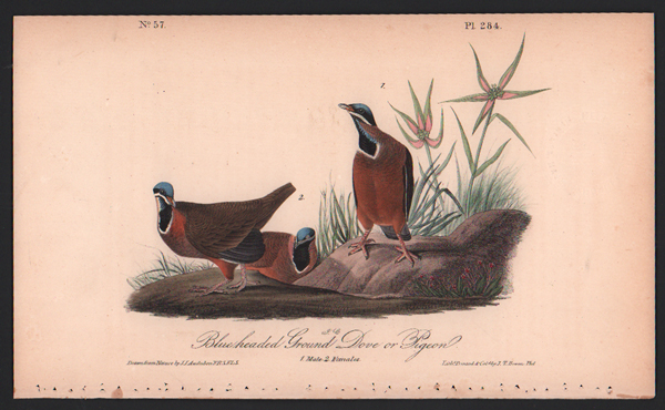 Blue-headed Ground Dove or Pigeon, Plate 284. John James Audubon.