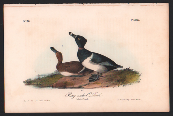 Ring-necked Duck, Plate 398. John James Audubon.