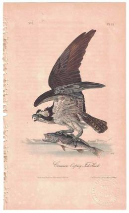 Common Osprey Fish Hawk, Plate 15. John James Audubon
