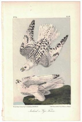 Iceland or Gyr Falcon, Plate 19. John James Audubon