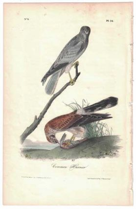 Common Harrier, Plate 26. John James Audubon