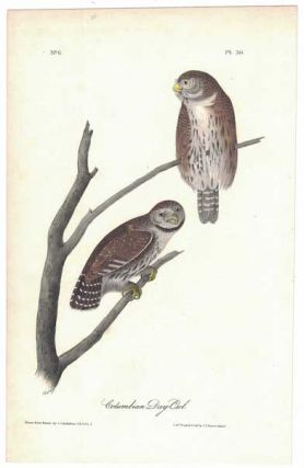 Columbian Day-Owl, Plate 30. John James Audubon