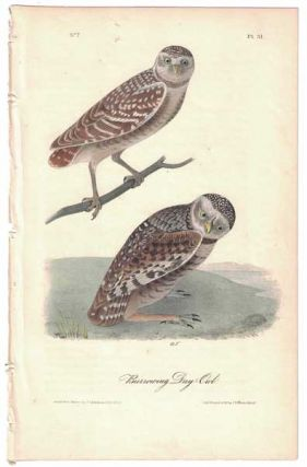 Burrowing Day-Owl, Plate 31. John James Audubon