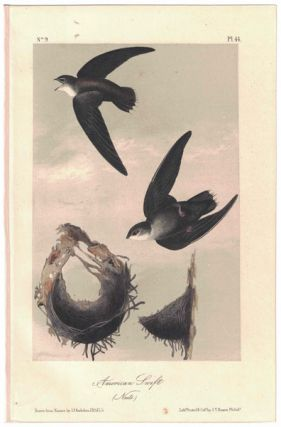 American Swift, Plate 44. John James Audubon