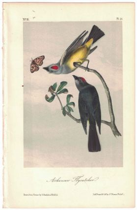 Arkansaw Flycatcher, Plate 54. John James Audubon