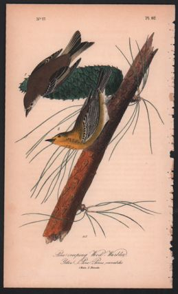 Pine-creeping Wood Warbler, Plate 82. John James Audubon