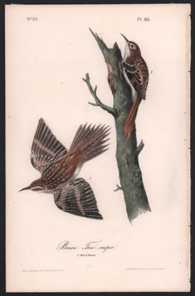 Brown Tree-creeper, Plate 115. John James Audubon