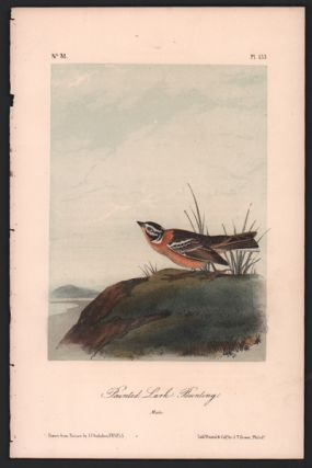 Painted Lark Bunting, Plate 153. John James Audubon
