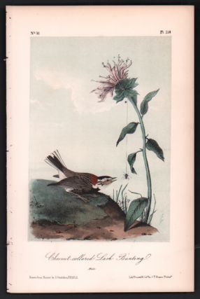 Chesnut-collared Lark Bunting, Plate 154. John James Audubon