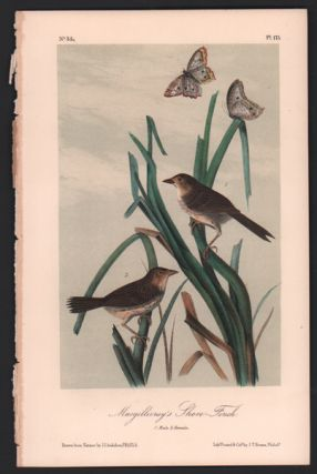 Macgillivray's Shore-Finch, Plate 173. John James Audubon
