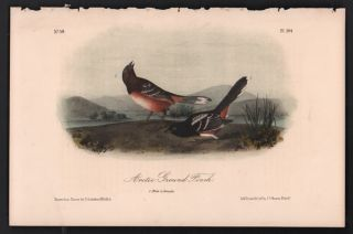 Arctic Ground Finch, Plate 194. John James Audubon