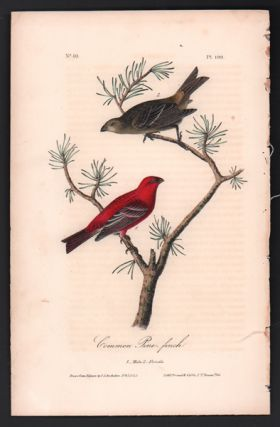 Common Pine-finch, Plate 199. John James Audubon