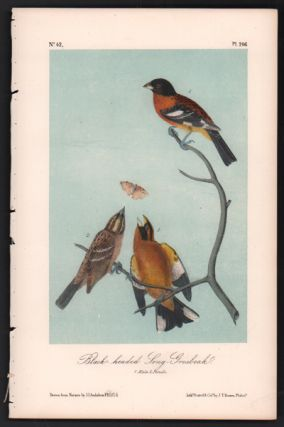 Black-headed Song-Grosbeak, Plate 206. John James Audubon