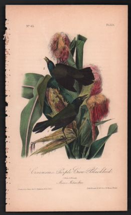 Common or Purple Crow-Blackbird, Plate 221. John James Audubon