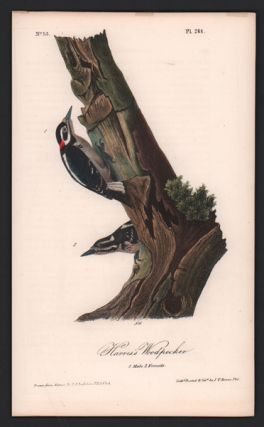Harris's Woodpecker, Plate 261. John James Audubon