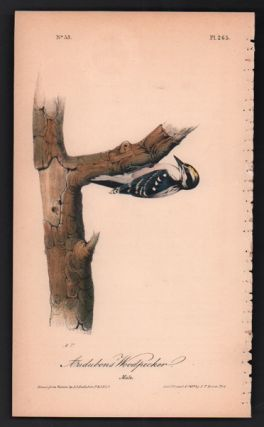 Audubon's Woodpecker, Plate 265. John James Audubon