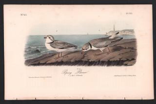 Piping Plover, Plate 321. John James Audubon