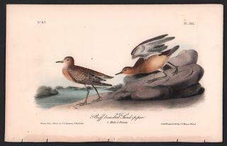 Buff-breasted Sand-piper, Plate 331. John James Audubon