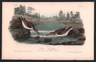 Little Sandpiper, Plate 337. John James Audubon