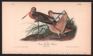 Great Marbled Godwit, Plate 348. John James Audubon