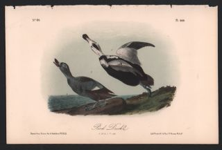 Pied Duck, Plate 400. John James Audubon