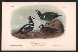 Harlequin Duck, Plate 409. John James Audubon