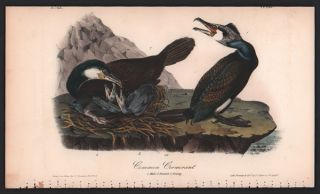 Common Cormorant, Plate 415. John James Audubon