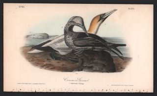 Common Gannet, Plate 425. John James Audubon
