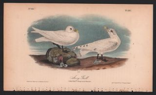Ivory Gull, Plate 445. John James Audubon